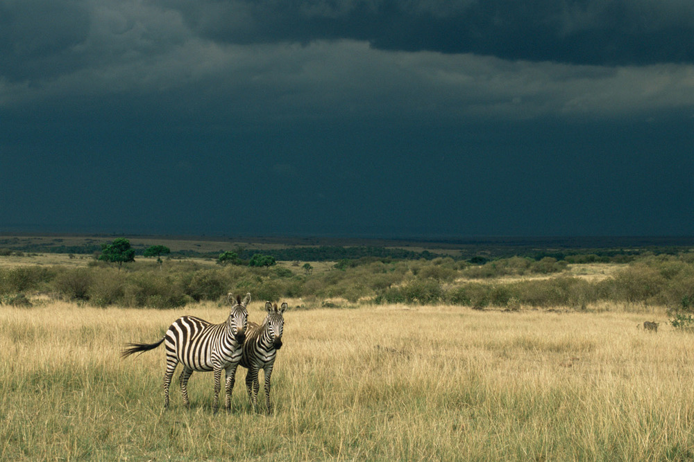 Common zebras and approaching storm, Masai Mara National Reserve, Kenya