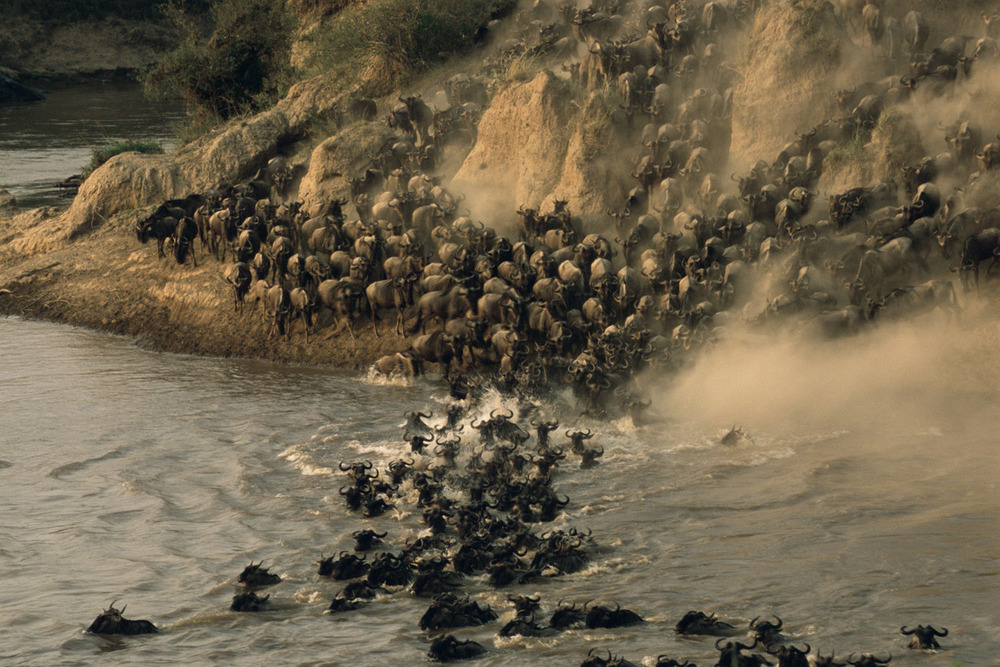 Wildebeest herd crossing Mara River in evening light, Masai Mara National Reserve, Kenya