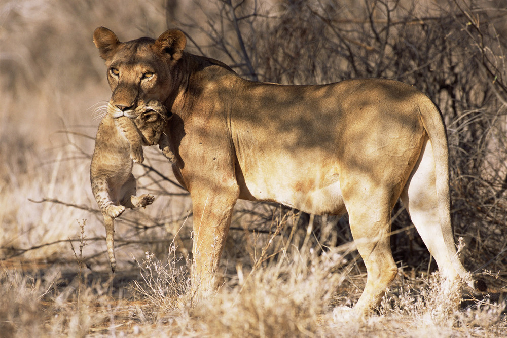 Lioness carrying baby in mouth, Samburu National Reserve, Kenya