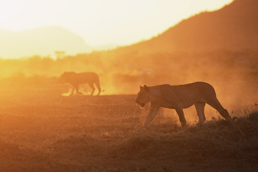 Lioness and lion on the move at sunset, Samburu National Reserve, Kenya
