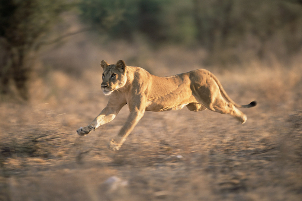 Lioness sprinting after Grévy's zebra foal, Samburu National Reserve, Kenya