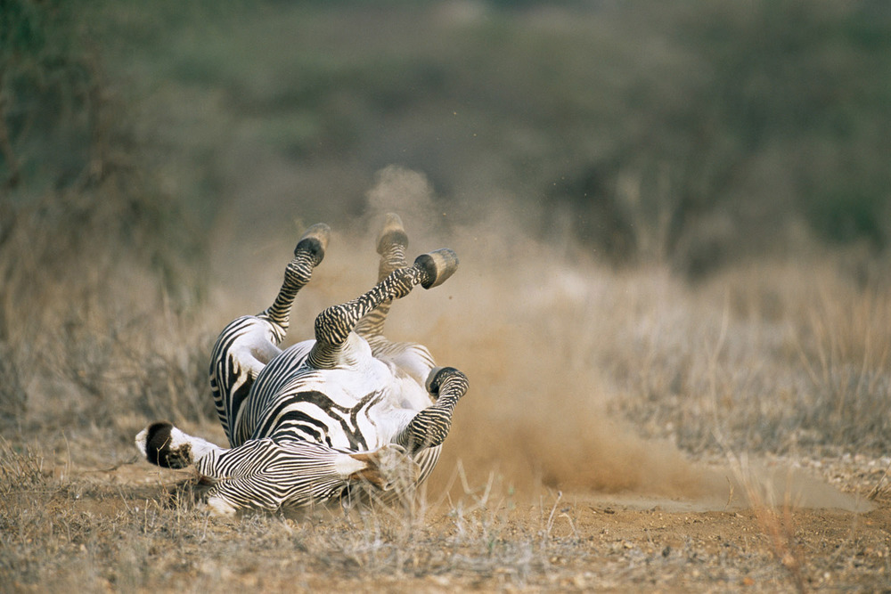 Grévy's zebra rolling in dust, Samburu National Reserve, Kenya
