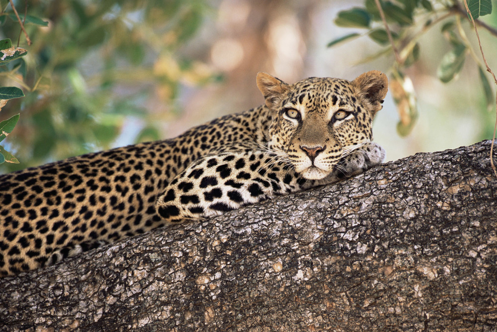 Leopard relaxing in tree, Buffalo Springs National Reserve, Kenya