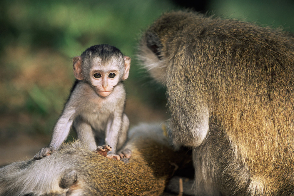 Vervet monkey baby with mother, Samburu National Reserve, Kenya