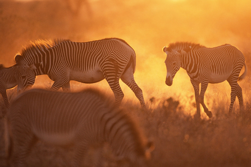 Grevy's zebras at sunset, Samburu National Reserve, Kenya