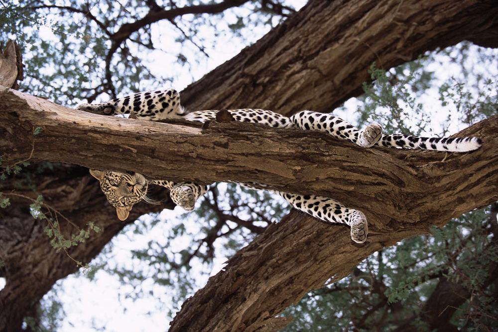 Leopard overhead, Buffalo Springs National Reserve, Kenya