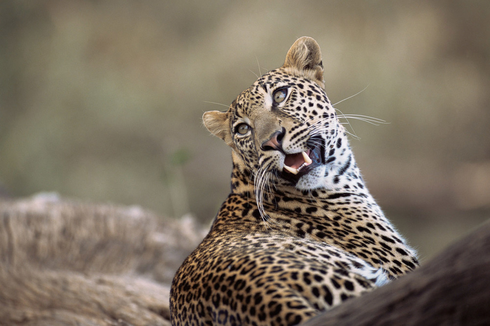 Leopard portrait, Buffalo Springs National Reserve, Kenya