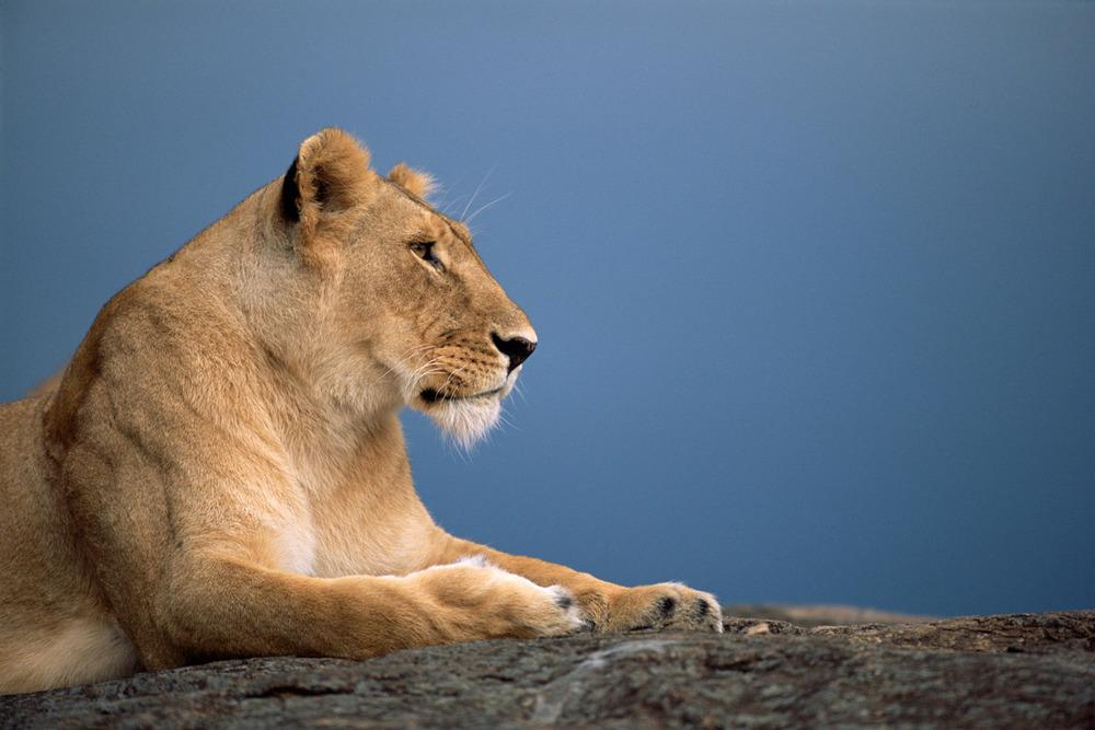 Lioness profile, Masai Mara National Reserve, Kenya