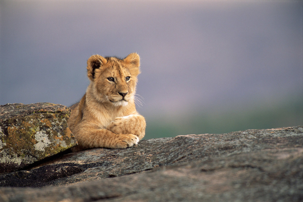 Lion cub resting on rock, Masai Mara National Reserve, Kenya