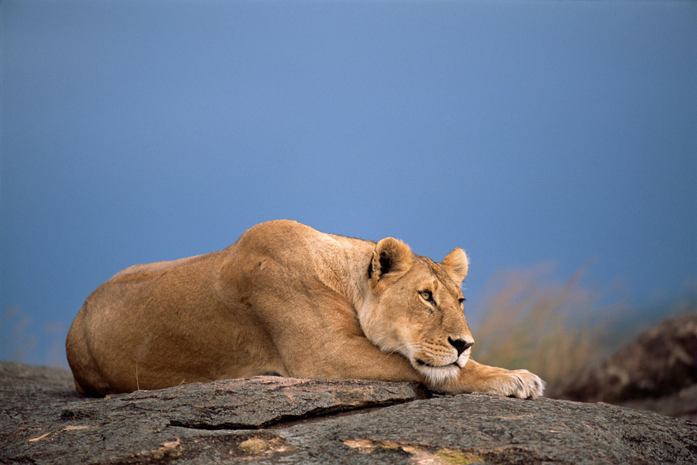 Lioness relaxing on rock, Masai Mara National Reserve, Kenya