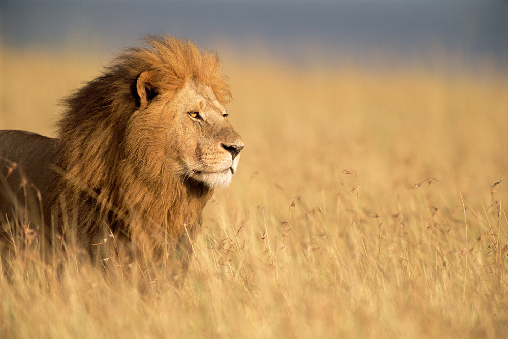 Lion in long grass, Masai Mara National Reserve, Kenya