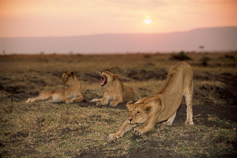 Lioness stretching at sunset, Masai Mara National Reserve, Kenya