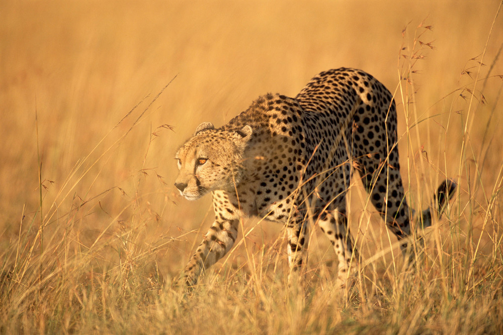Cheetah stalking prey, Masai Mara National Reserve, Kenya