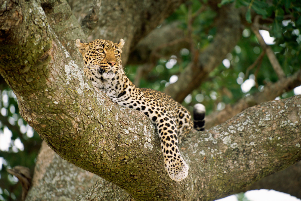 Leopard resting in sausage tree, Masai Mara National Reserve, Kenya