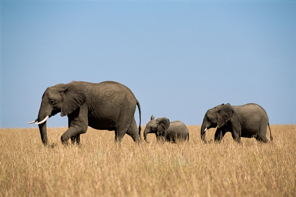 African elephant family on the move, Masai Mara National Reserve, Kenya