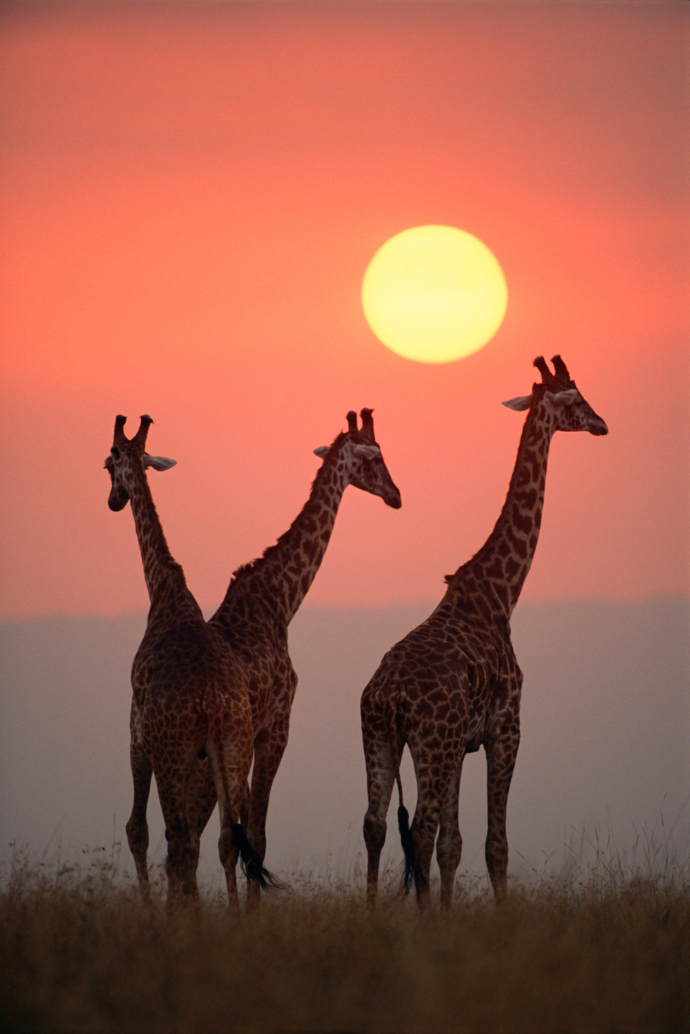 Maasai giraffes at sunset, Masai Mara National Reserve, Kenya