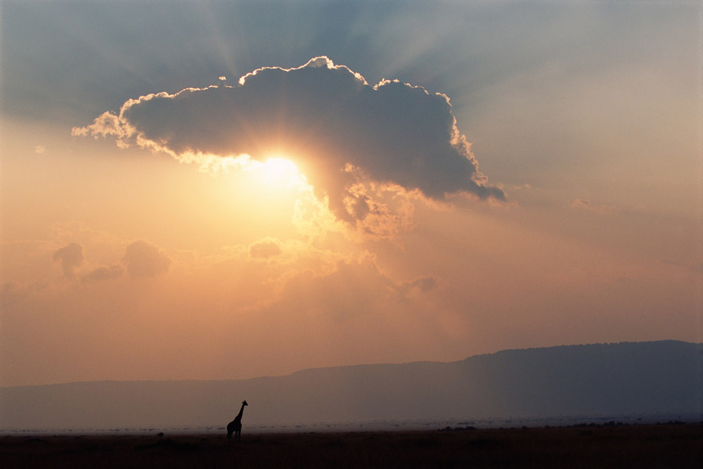 Maasai giraffe under sunburst, Masai Mara National Reserve, Kenya
