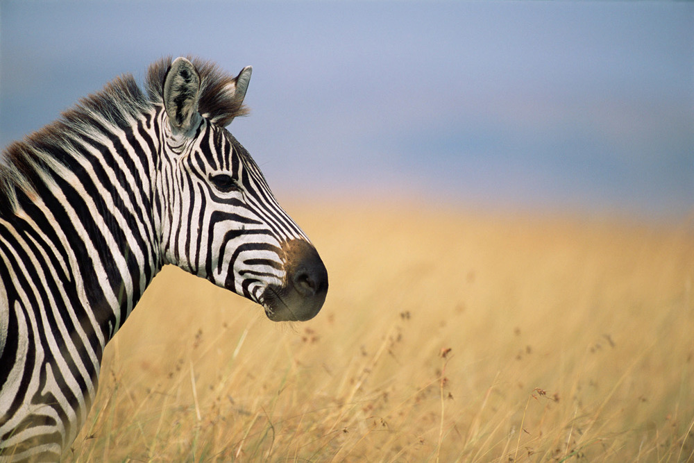 Common zebra profile, Masai Mara National Reserve, Kenya