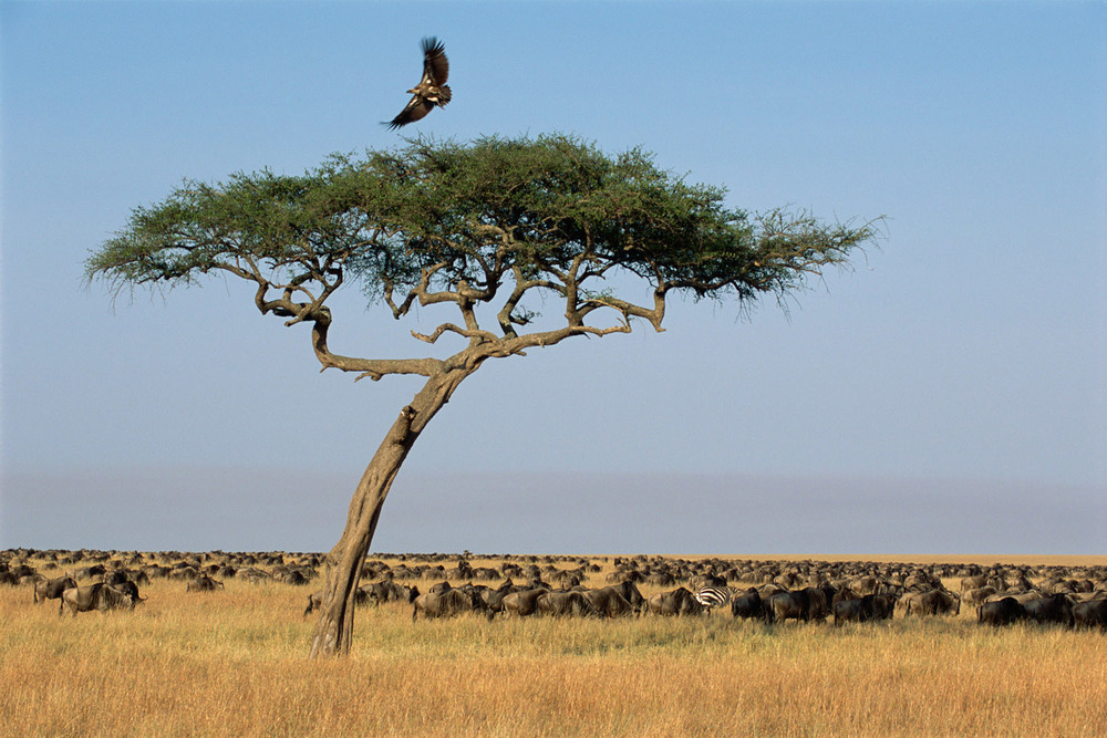 African white-backed vulture leaving desert date and wildebeest herd, , Masai Mara National Reserve, Kenya