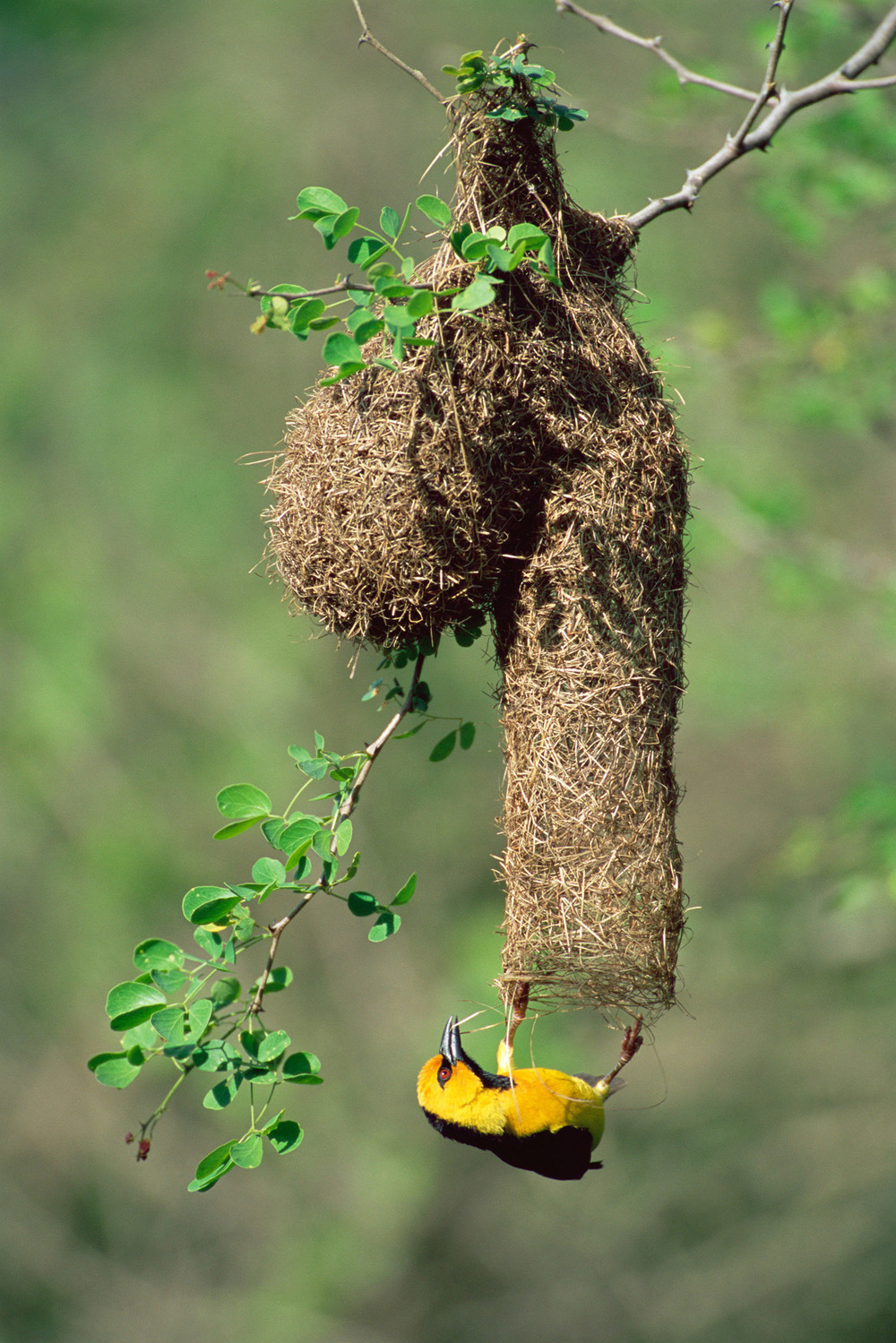 Black-necked weaver building nest, Tsavo West National Park, Kenya