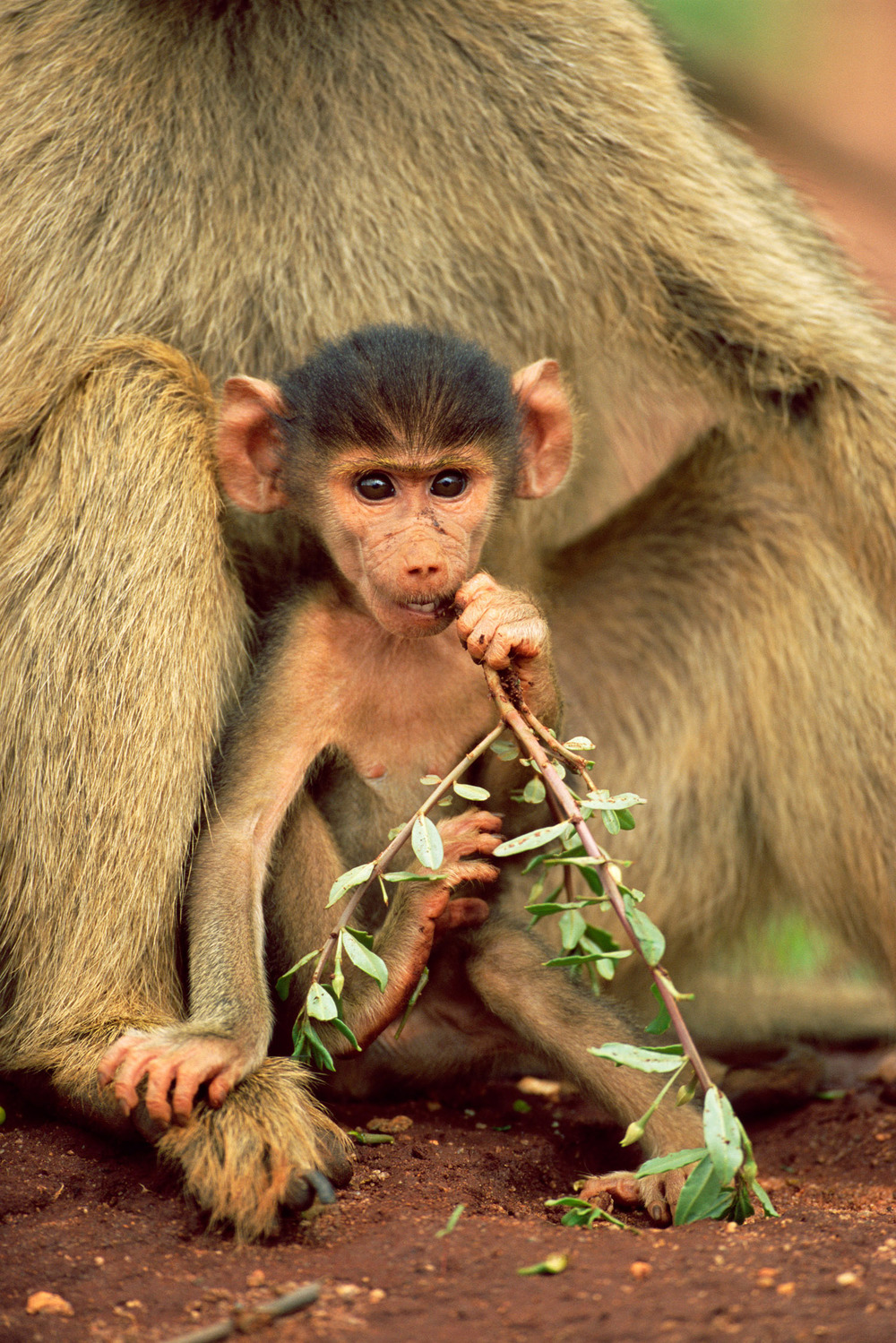 Yellow baboon baby, Tsavo West National Park, Kenya