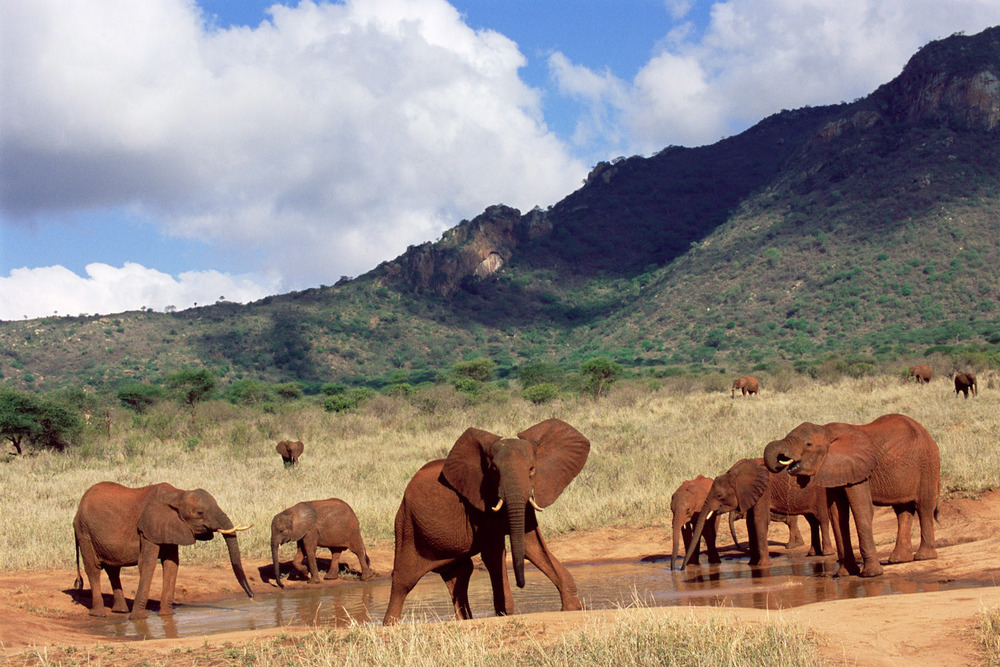 African elephants at waterhole, Tsavo West National Park, Kenya