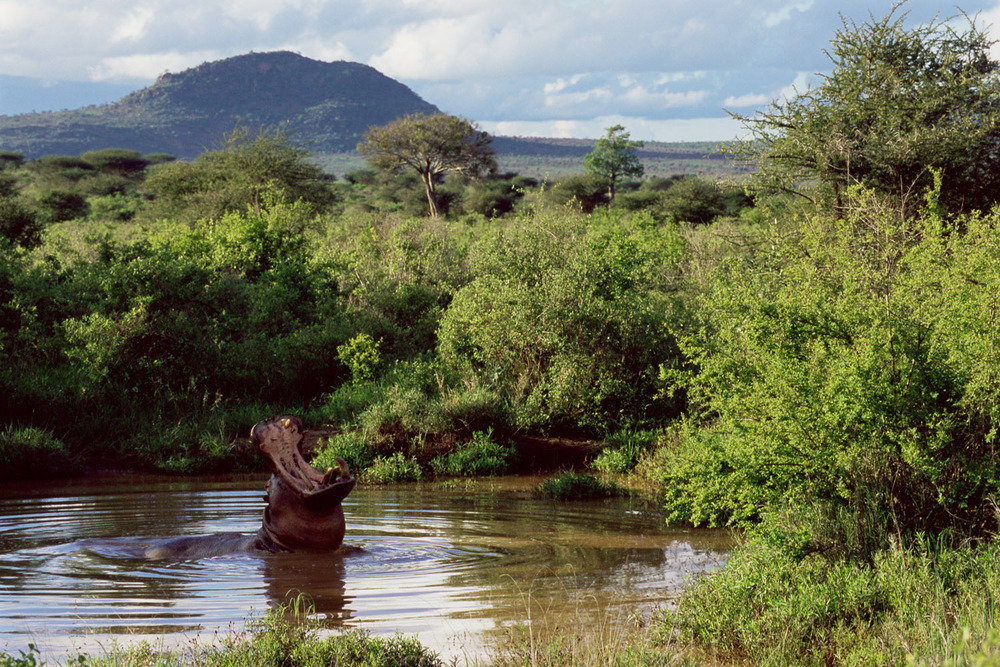 Bull hippo gaping in pool, Tsavo West National Park, Kenya