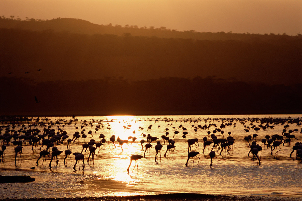 Lesser flamingos feeding at sunset, Lake Nakuru National Park, Kenya