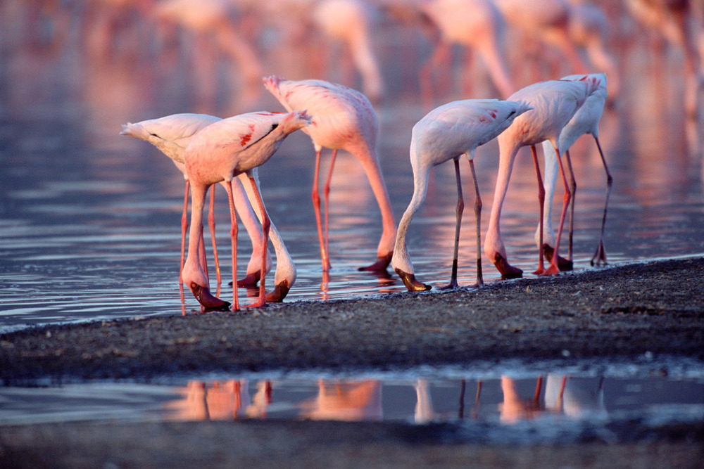 Lesser flamingos feeding, Lake Nakuru National Park, Kenya