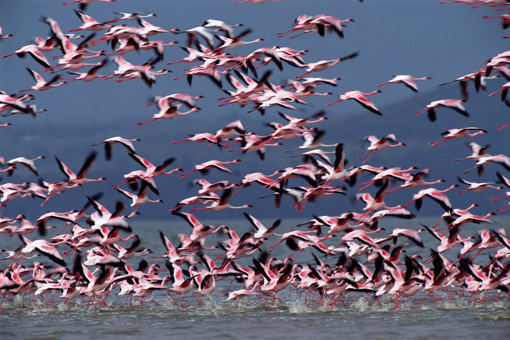 Lesser flamingo flock taking off, Lake Nakuru National Park, Kenya