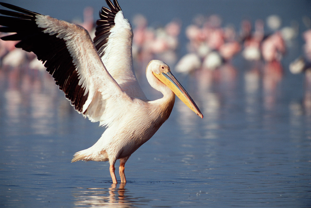 Great white pelican stretching, Lake Nakuru National Park, Kenya