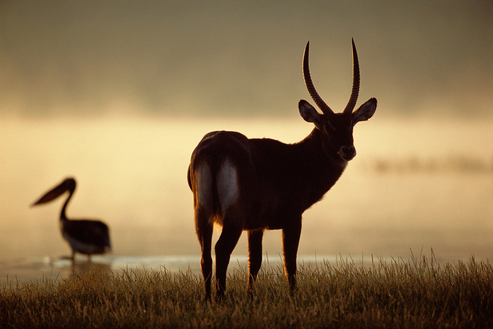 Defassa waterbuck and great white pelican at dawn, Lake Nakuru National Park, Kenya