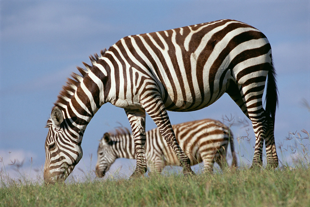 Common zebra mother with foal, Lake Nakuru National Park, Kenya