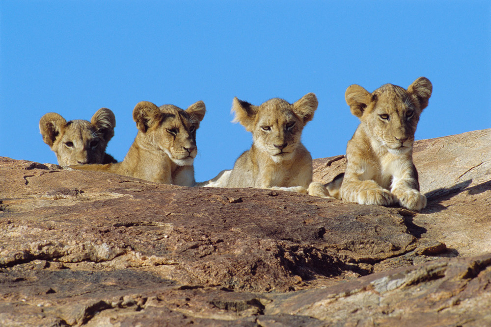 Lion cubs on rock, Samburu National Reserve, Kenya