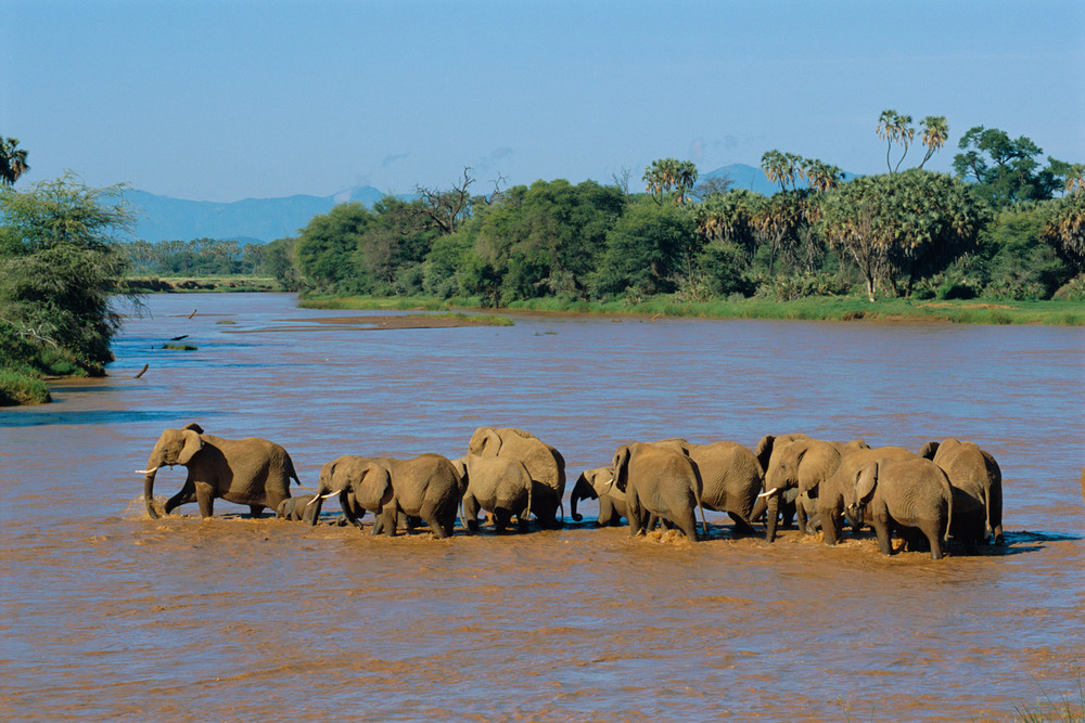 African elephant herd crossing Uaso Nyiro River, Samburu National Reserve, Kenya
