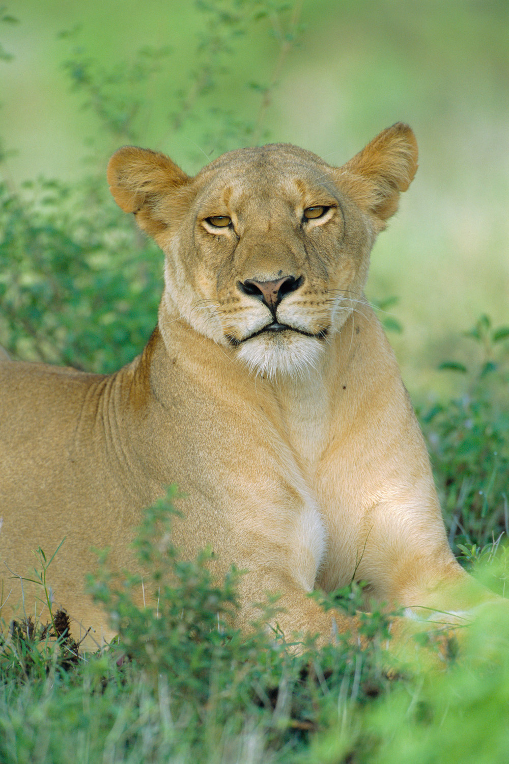 Lioness portrait, Samburu National Reserve, Kenya