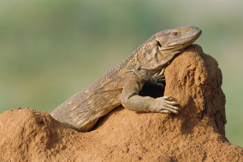 Savannah monitor lizard sunbathing, Samburu National Reserve, Kenya