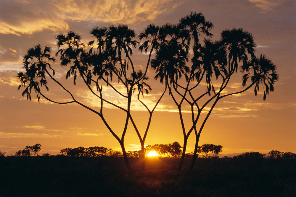 Doum palms at sunrise, Samburu National Reserve, Kenya