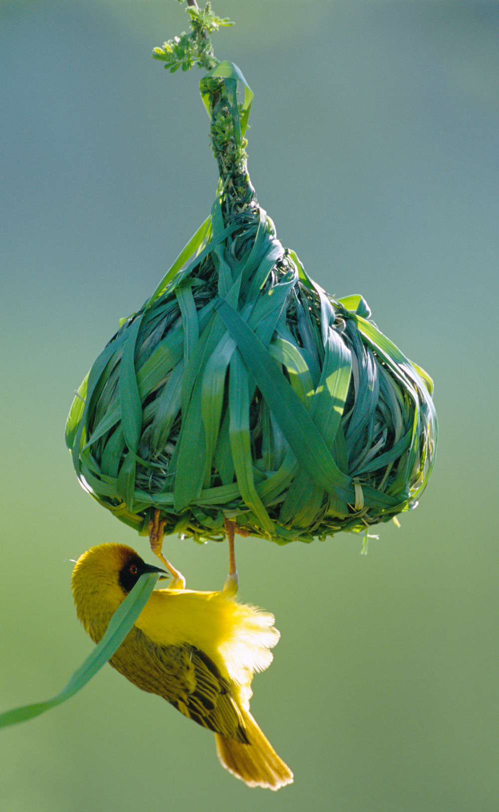Vitelline masked weaver building nest, Samburu National Reserve, Kenya