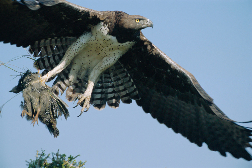 Martial eagle hunting young helmeted guineafowl, Masai Mara National Reserve, Kenya