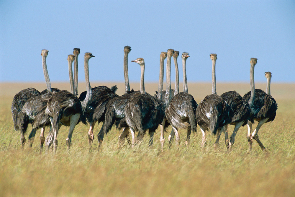 Ostriches in a sea of grass, Masai Mara National Reserve, Kenya