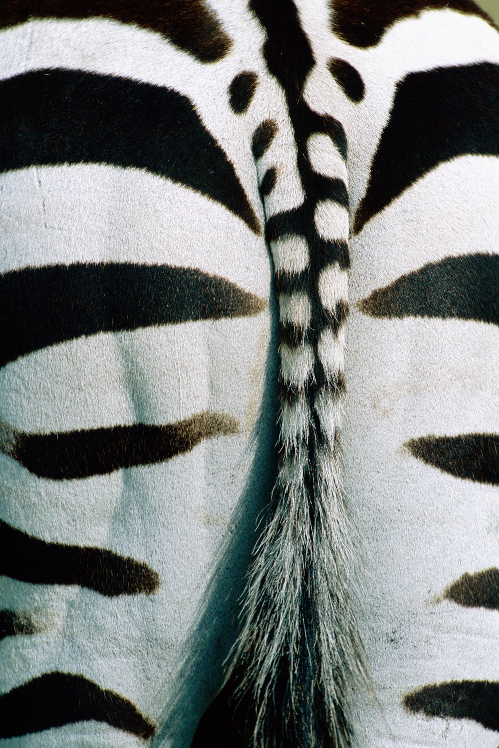 Common zebra behind detail, Masai Mara National Reserve, Kenya