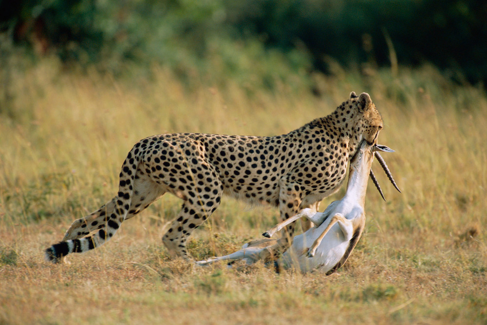Cheetah dragging Thomson's gazelle kill to shade, Masai Mara National Reserve, Kenya