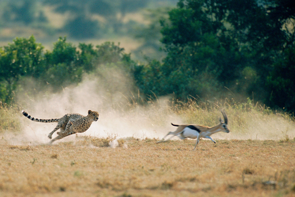 Cheetah hunting Thomson's gazelle, Masai Mara National Reserve, Kenya