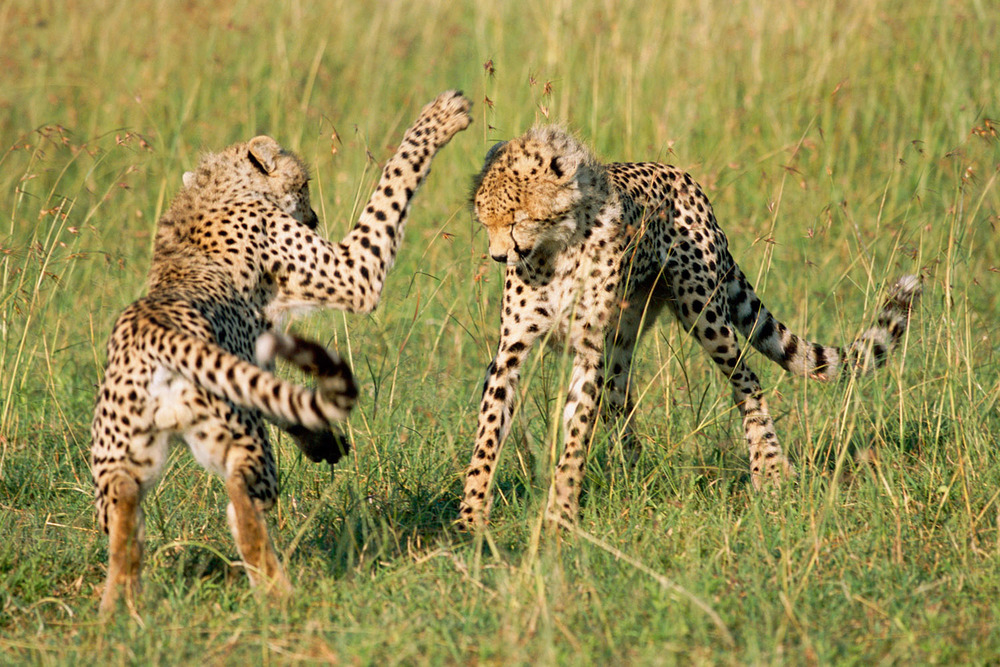 Young cheetahs playing, Masai Mara National Reserve, Kenya