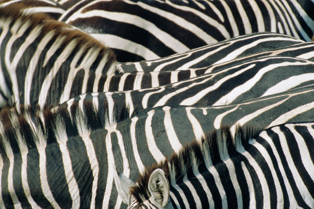 Common zebra stripe patterns, Masai Mara National Reserve, Kenya