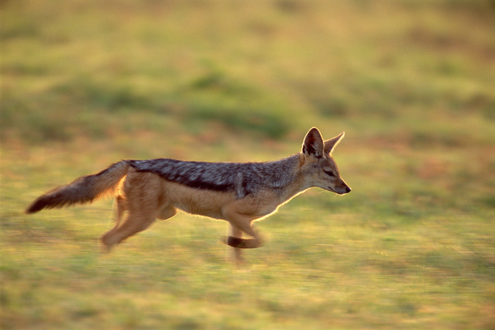 Black-backed jackal running at last light, Laikipia, Kenya