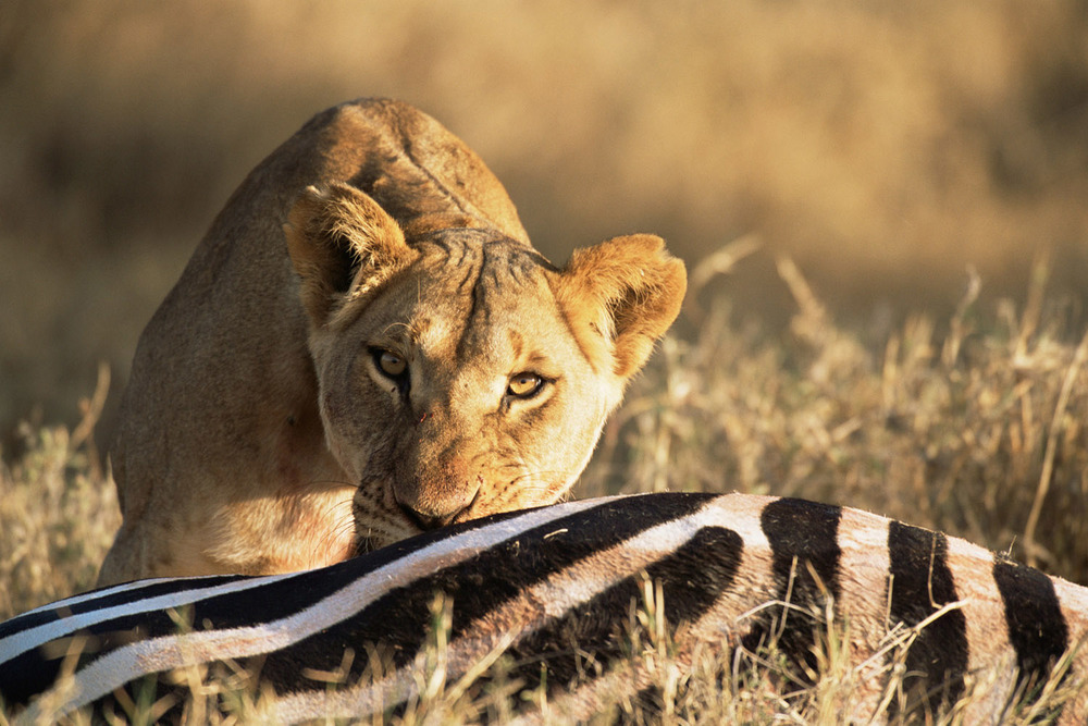 Lioness with common zebra carcass, Laikipia, Kenya
