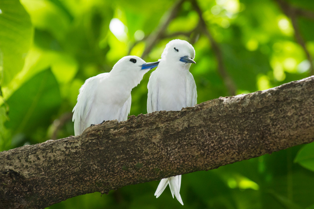 Fairy terns preening, Cousin Island Special Reserve, Seychelles