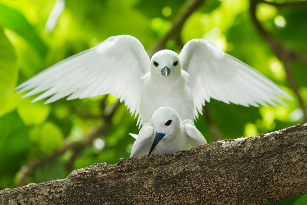 Fairy terns mating, Cousin Island Special Reserve, Seychelles